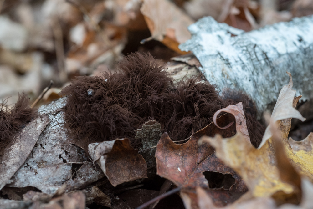 furry brown fungus-2316