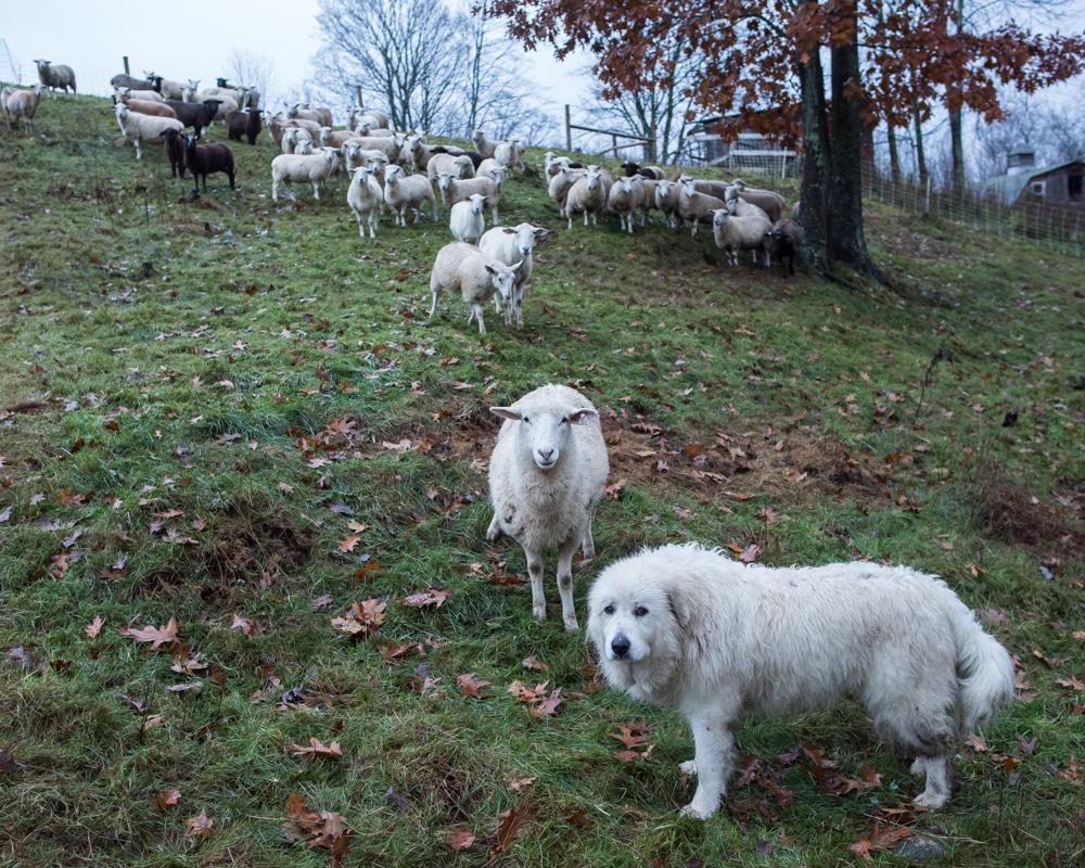 rainy sheep 20171029-2075