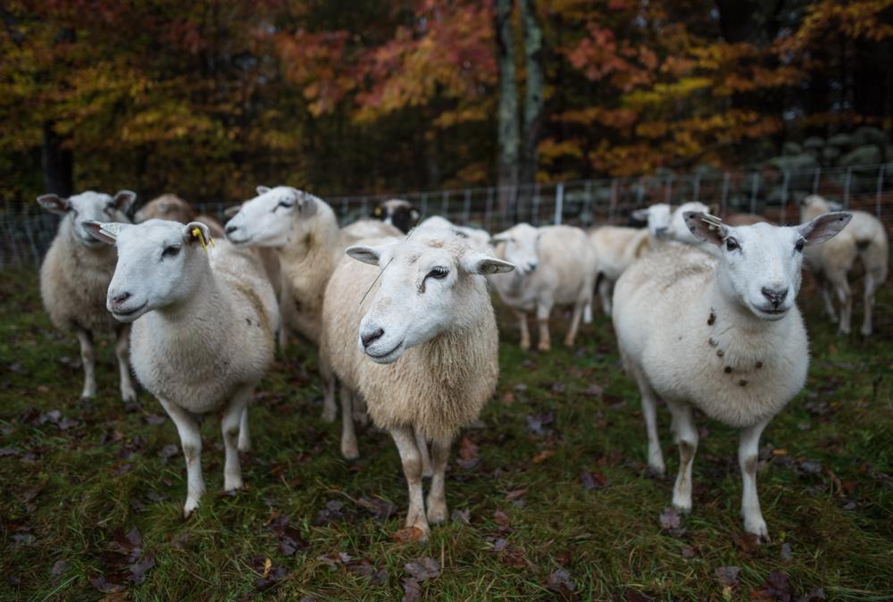 wet sheep 20171026-1979