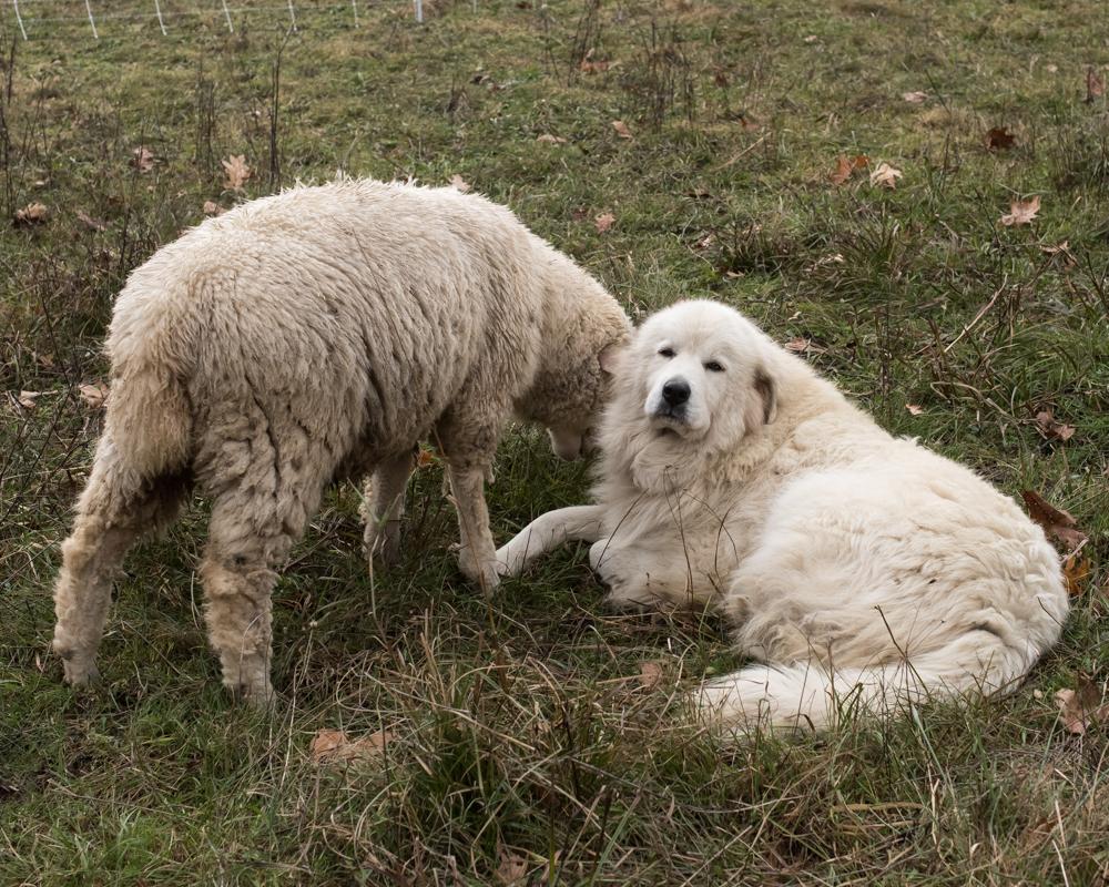 Cleo with ewe-2635