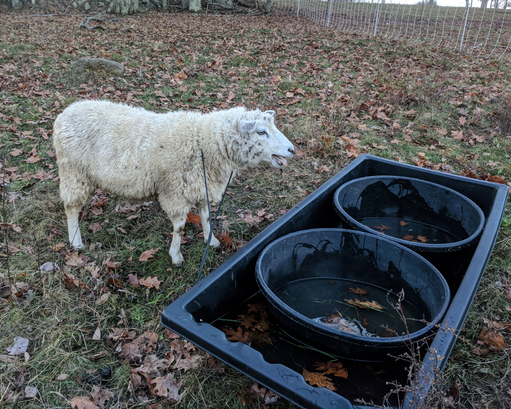 ewe caught in sled-20-2