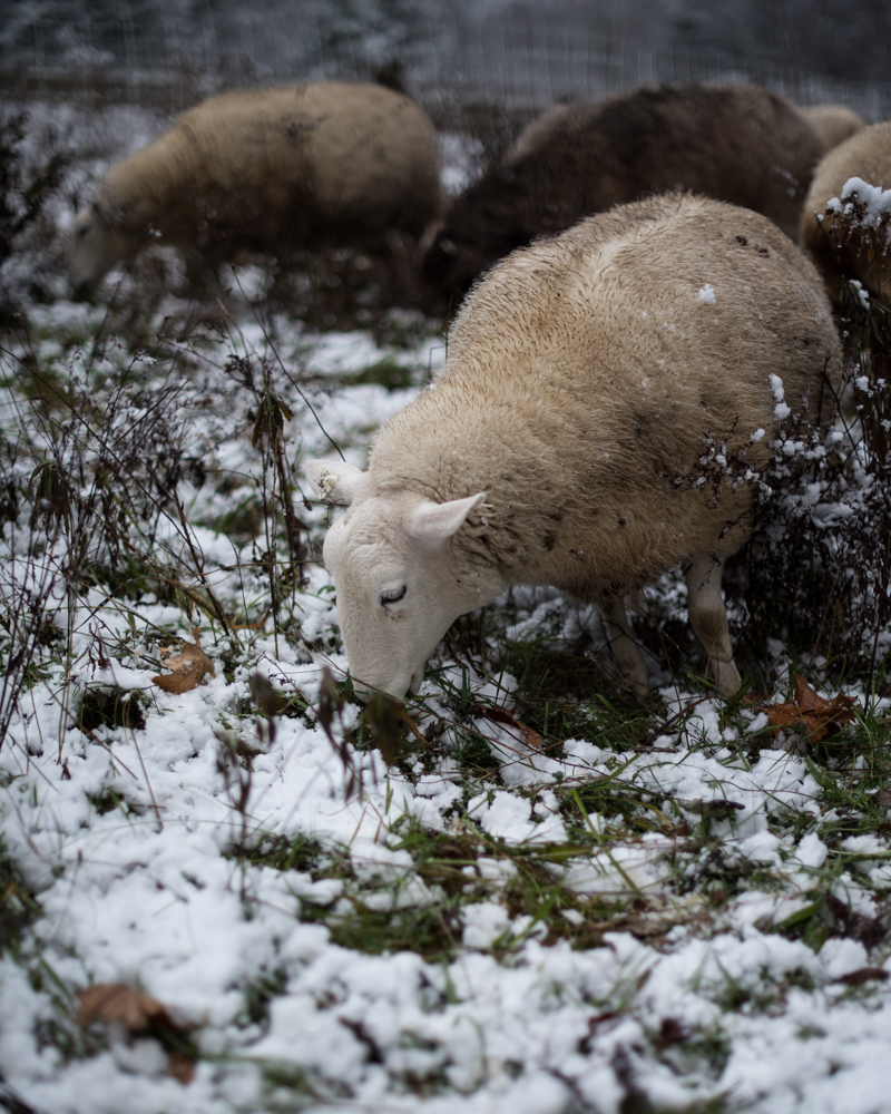sheep grazing in snow-2551