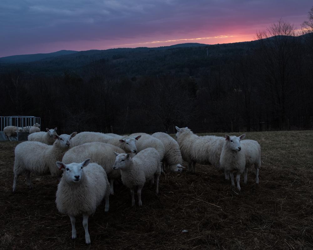 sheep sunrise 20171129-3212