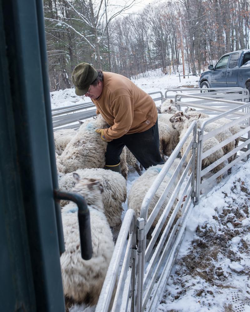 Bill's lambs-3662