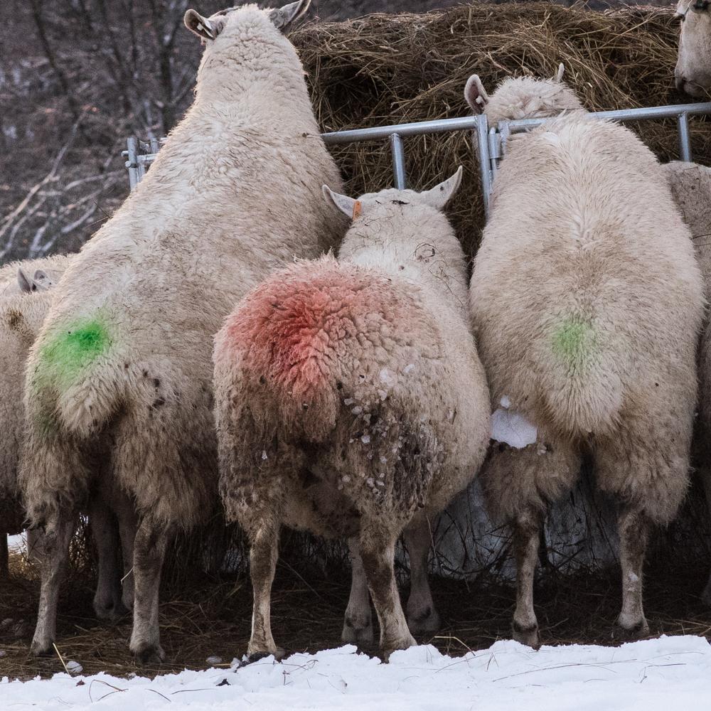 Christmas ewes-3890