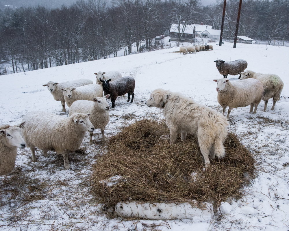 Luna guarding hay-3835