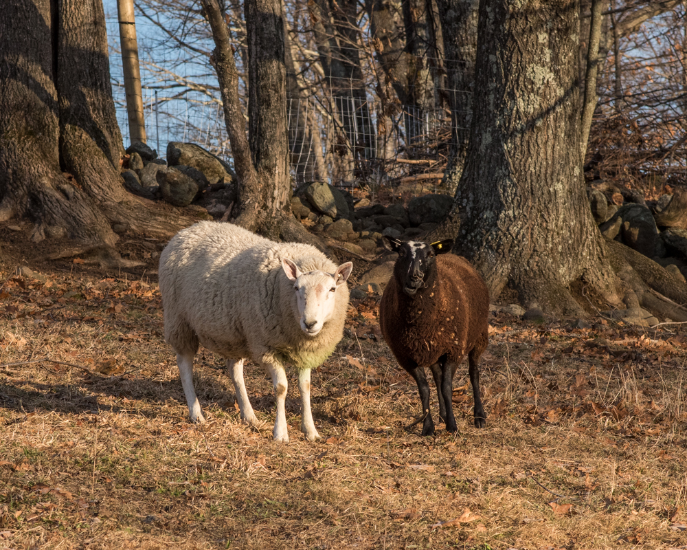 rams and ewes 20171208-3490