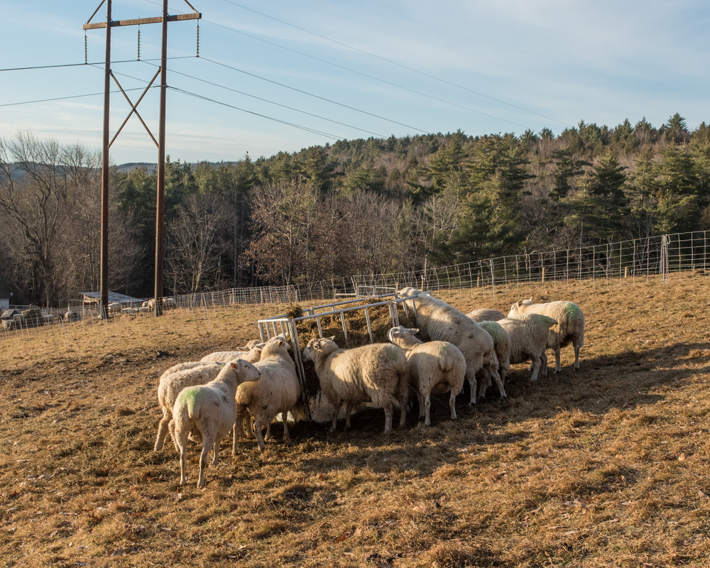 rams and ewes 20171208-3504
